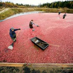 Climate change may benefit Down East Maine's cranberry growers