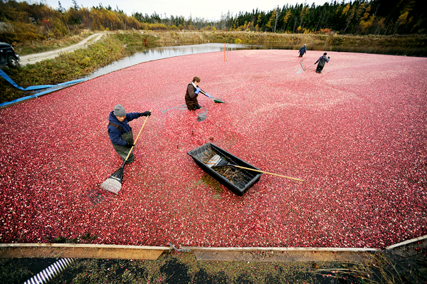 At Cranberry Cove Farm in Jonesport, Ramone Hernandez (left) of Deblois, and farm co-owner Sharon Look rake cranberries to a suction device that will move them from one of the farm's bogs to a hopper for sorting, cleaning and transport. Photographed Tuesday, October 27, 2009.   BANGOR DAILY NEWS PHOTO BY JOHN CLARKE RUSS