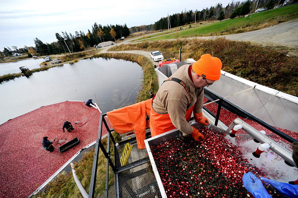 At Cranberry Cove Farm in Jonesport, Matthew Alley of Beals Island helps inspect freshly harvested cranberries while standing on top a hopper. Behind him  Jerry McLean of Steuben, Ramone Hernandez of Deblois and farm co-owner Sid Look harvest cranberries with rakes in one of the farm's man-made cranberry bogs. Photographed Tuesday, October 27, 2009.   BANGOR DAILY NEWS PHOTO BY JOHN CLARKE RUSS
