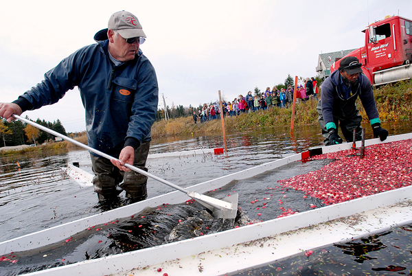 At Cranberry Cove Farm in Jonesport, co-owner Sid Look,left, rakes cranberries towards a suction trough as worker Jerry McLean of Steuben moves a boom to corral cranberries during harvesting in one of the farm's man-made cranberry bogs.  Looking on (in background) are students from Miles Lane School in Bucksport who took a field trip to the farm's bogs to watch the harvest Tuesday, October 27, 2009. BANGOR DAILY NEWS PHOTO BY JOHN CLARKE RUSS
