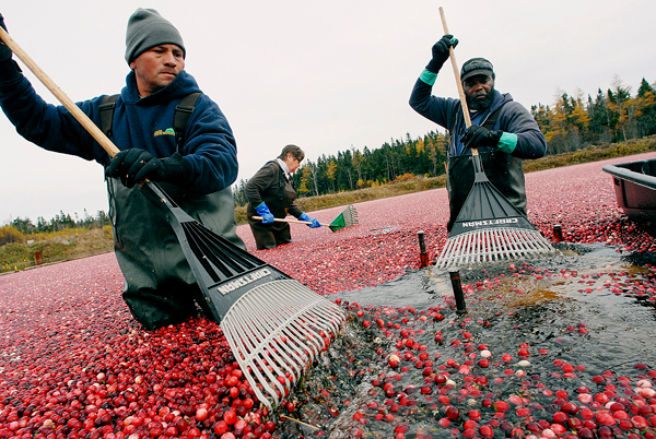 At Cranberry Cove Farm in Jonesport, Ramone Hernandez (left) of Deblois, farm co-owner Sharon Look and Jerry McLean (right) of Steuben stand in one of the farm's man-made cranberry bogs as they divert cranberries to a suction device that will pump them to a hopper for sorting, cleaning and transport to Wyman's of Maine. Photographed Tuesday, October 27, 2009.   BANGOR DAILY NEWS PHOTO BY JOHN CLARKE RUSS
