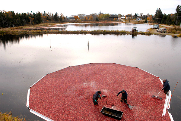 At Cranberry Cove Farm in Jonesport, Jerry McLean,left, of Steuben, Ramone Hernandez (left) of Deblois and farm co-owner Sid Look and  stand in one of the farm's man-made cranberry bogs as they divert cranberries to a suction device that will move them to a hopper for sorting, cleaning and transport to Wyman's of Maine. Photographed Tuesday, October 27, 2009.   BANGOR DAILY NEWS PHOTO BY JOHN CLARKE RUSS