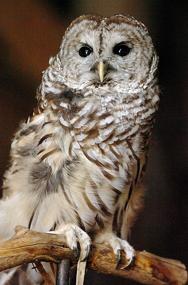 A barred owl from Birdsacre in Ellsworth eyes curious onlookers during a presentation which also featured a great horned owl and a saw whet owl, at the Curran Homestead Living History Farm and Museum on Saturday, Oct. 31, 2009 in Orrington. (Bangor Daily News/Bridget Brown)