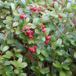 Lingonberries ripen in autumn and are usually not ready to pick before October.