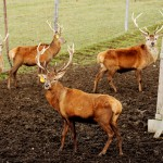 Locks cut on gates at Maine hunting park, at least one red deer still on the loose
