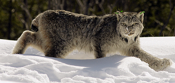 A Canada lynx regains its footing after research biologists administered a drug to counteract the effects of anesthetizing the animal. (BANGOR DAILY NEWS PHOTO BY JOHN CLARKE RUSS)