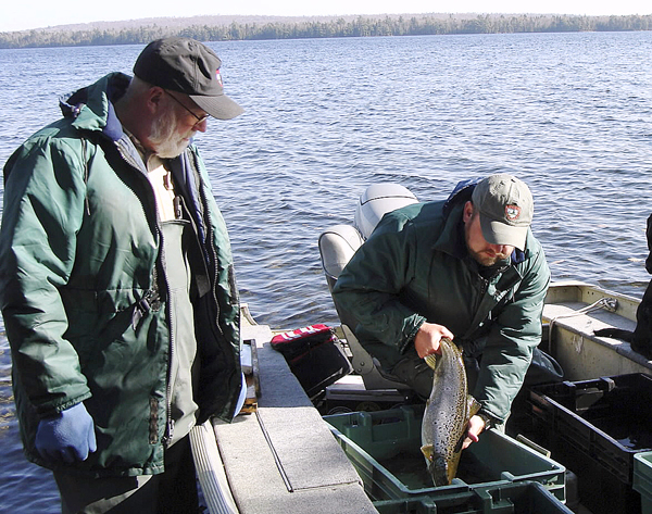 Biologist Richard Dill, center, picks up a lake trout that has been  measured and weighed during a trapnetting session in late October at  Schoodic Lake and prepares to hand it to biologist Nels Kramer to be released back into the wild. BANGOR DAILY NEWS PHOTO BY DIANA BOWLEY