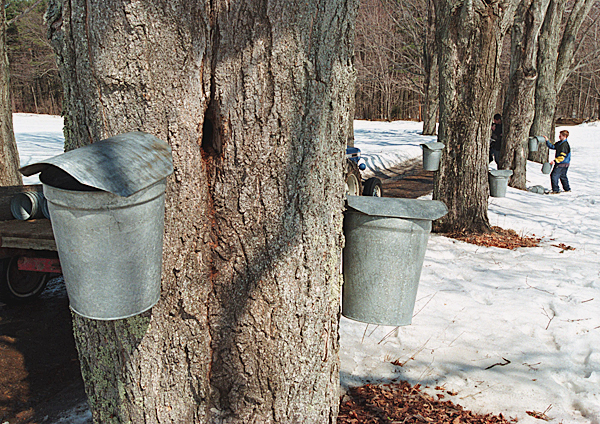 FILE - In this March 2003 file photo, Brad Moore,12, of Loudon, N.H., puts lids over buckets used for collecting maple sap while tapping maples near the family farm, Windswept Maples in Loudon, N.H.  U.S. syrup producers made more than 2.3 million gallons this year, the highest production since 1944.