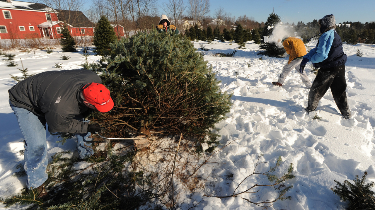 Michael Sturgeon, left, cuts a Christmas tree at Carpenter's Tree Farm in Old Town on Saturday, December 12, 2009 as his assistants, Sam Peabody, center, readies the tree cart as brothers, Alex, second from right, and Jake Leithiser , right, engage in a friendly snow throwing contest. (Bangor Daily News/Kevin Bennett)
