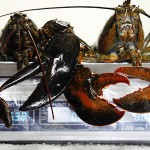 Effort to unionize Maine lobstermen attracts 250 members