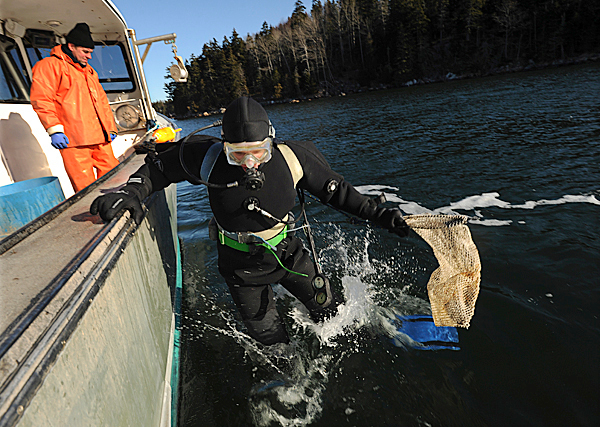 Scallop diver, Andy May, right jumps off the side of his boat, Lost Airmen, into the fridgid waters near Mount Desert Island on Saturday, December 19, 2009 to scour the bottom for scallops. BANGOR DAILY NEWS PHOTO BY KEVIN BENNETT