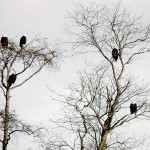 Five fat bald Eagles watch their surroundings from their perch in two  trees Thursday in the Guilford area. (Bangor Daily News Photo by Diana  Bowley)