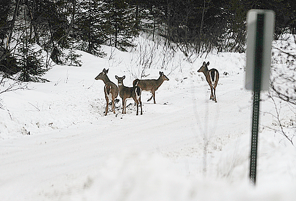 Several white tail deer pause on the 20 Mile Road just north of Pittston Farm as the snow started to fall late Monday afternoon, December 28, 2009.   BANGOR DAILY NEWS PHOTO BY JOHN CLARKE RUSS