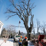 New England bids farewell to oldest elm