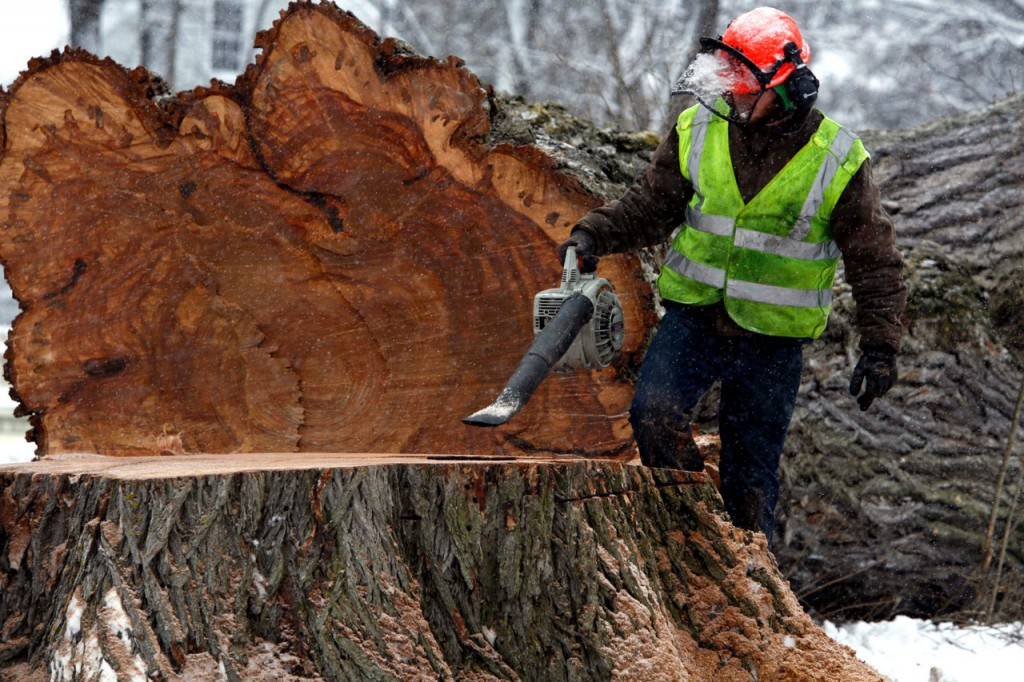A tree worker removes saw dust from Herbie, New England's largest and oldest elm tree, that was  cut  down on Tuesday, Jan. 19, 2010 in Yarmouth, Maine. (AP Photo/Pat Wellenbach)