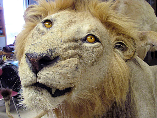 This lion, with its unique and captivating expression, is one of the animals that students at Nokomis Regional High School are refurbishing as part of a one-of-a-kind class called Museum Sciences/Taxidermy. BANGOR DAILY NEWS PHOTO BY CHRISTOPHER COUSINS