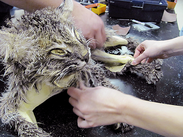 Stretching a bobcat skin over a foam form isn't as easy as it looks, and it doesn't look very easy. BANGOR DAILY NEWS PHOTO BY CHRISTOPHER COUSINS