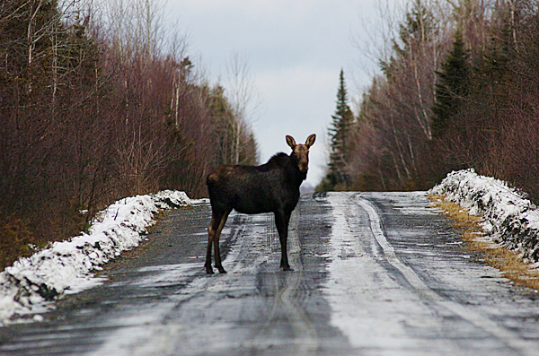 A moose pauses while crossing Baker Lake Road --about 10 miles southeast of  the soon-to-be finished camp lodging on Baker Lake in located in T6 R17 WELS. Photographed in early December 2009. BANGOR DAILY NEWS PHOTO BY JOHN CLARKE RUSS