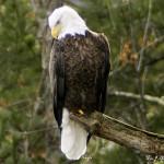 Eagle photo by William J. Moreau