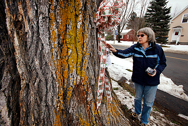 In this Tuesday, Dec. 15, 2009 photo Sarah Lathrop, of Scarborough, Maine, examines a large elm tree known as &quotHerbie&quot in Yarmouth, Maine.  The tree, estimated to be over 225 years old and scheduled to be cut down on Martin Luther King Day Jan. 18, 2009, has suffered numerous bouts of Dutch elm disease. Lathrop visited the tree to get inspiration for a speech class. (AP Photo/Steven Senne)