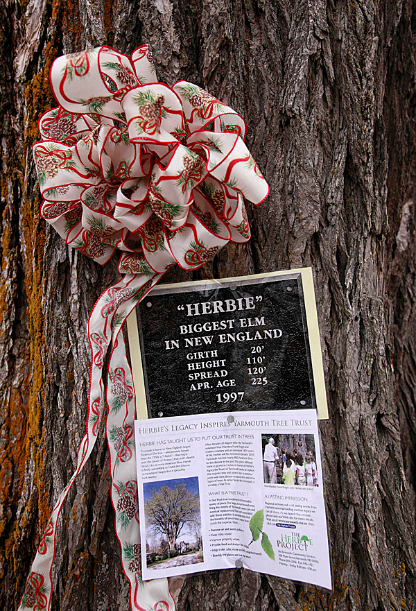 In this Tuesday, Dec. 15, 2009 photo a bow and information are posted on an elm tree known as &quotHerbie&quot in Yarmouth, Maine.  The tree, estimated to be over 225 years old and scheduled to be cut down on Martin Luther King Day Jan.  18, 2009, has suffered numerous bouts of Dutch elm disease. (AP Photo/Steven Senne)