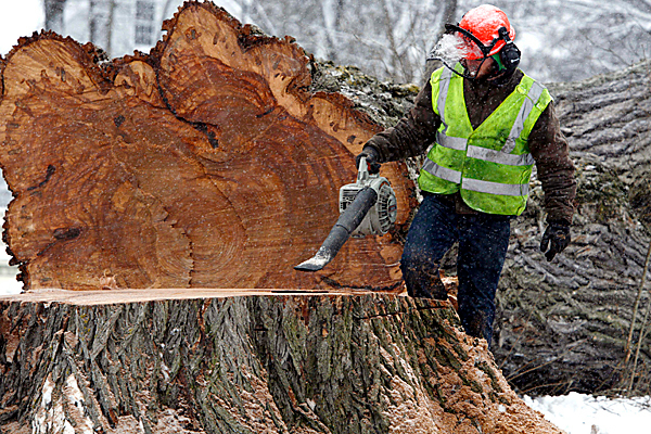 FILE -  In this Tuesday, Jan. 19, 2010, file photo, a worker removes saw dust from Herbie, the tallest American elm in New England, after it was cut down. Scientists from universities and federal agencies have contacted the Maine Forest Service about examining Herbie's trunk to see what can be learned about the tree's age and about the climate over the years.  (AP Photo/Pat Wellenbach, File)