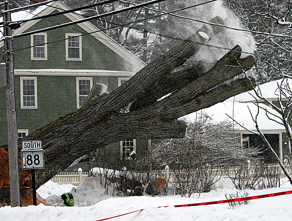Herbie, New England's largest and oldest elm tree, falls to the ground after workers spent hours preparing it  to be cut down on Tuesday, January 19, 2010 in Yarmouth, Maine. Frank Knight, who is 101 years old and the tree's caretaker for over half a century, was among those watching. The tree succumbed to Dutch elm disease after surviving 14 previous bouts with the fungus. The massive tree is estimated to be 240 years old. Its exact age will be known after officials count the growth rings in the trunk. (AP Photo/Pat Wellenbach)