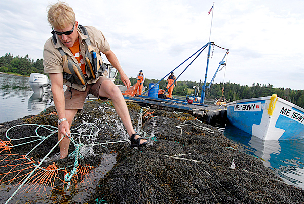 Tim Sheehan of Perry, resource manager for Nova Scotia-bases Acadian Seaplants, helps seasonal harvesters bundle floating bales of rockweed from the Pennamaquan River in Pembroke recently. &quotIf it's done correctly, it's sustainable. It's renewable,&quot Sheehan said of the harvesting process.  BANGOR DAILY NEWSFILE PHOTO BY JOHN CLARKE RUSS