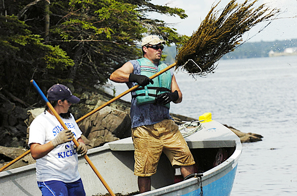 Hiram Berry (right) of Baileyville and Sarah Radmore of Mexico, harvesting contractors for Nova Scotia-based Acadian Seaplants, use hand-cutter rakes to harvest rockweed from the Pennamaquan River along Leighton Neck in Pembroke recently.  (BANGOR DAILY NEWS PHOTO BY JOHN CLARKE RUSS)