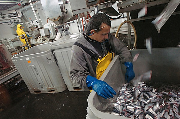 Reinaldo Chammorow picks miscut fish from a tote of herring at Stinson Seafood before icing them and sending them to the packing room floor. BANGOR DAILY NEWS FILE PHOTO BY KEVIN BENNETT