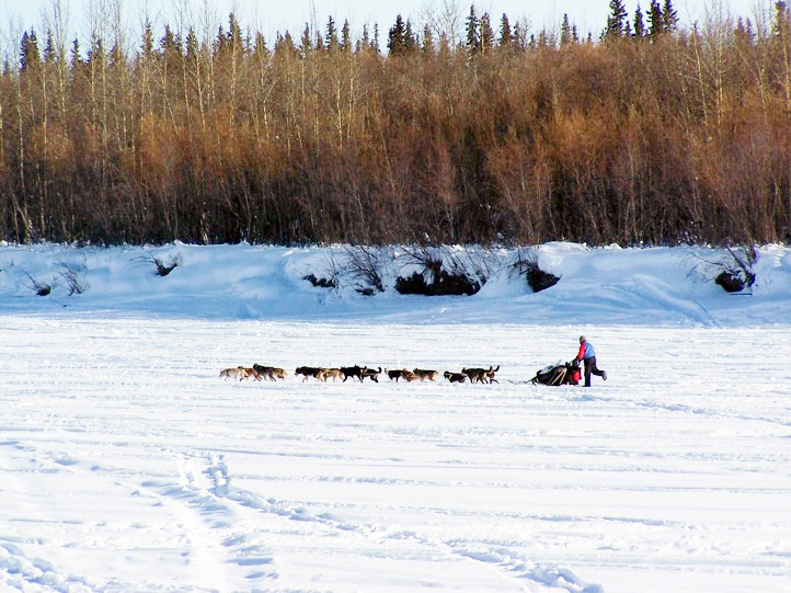 A musher being led by his sled dogs along the Kuskokwim River on the Iditarod trail in Central Alaska. The Iditarod frequently follows parts of frozen rivers as it passes over 1,000 miles of Alaskan wilderness.  PHOTO COURTESY OF NADA LEPER