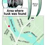 Ancient walrus tusk set for public debut