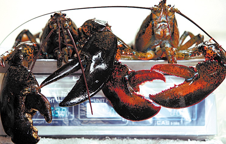 Two large lobsters are weighed on a scale at a fish market in Bath on Wednesday. Maine's attorney general is investigating allegations of price-fixing among some lobster dealers in the state following complaints by lobstermen. . (AP Photo/Pat Wellenbach)   2009.(AP Photo/Pat Wellenbach)