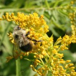 Rare bumblebee rebounding? Sightings create hopeful buzz