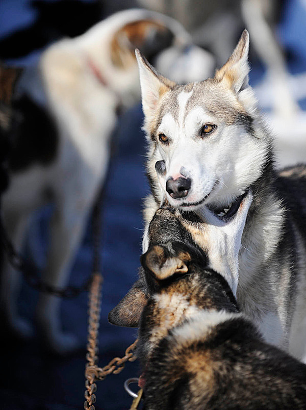 &quotErnie&quot (top) appears unfazed as his husky teammate &quotDanica&quot (bottom) playfully bites his neck as they bide their time during the veterinarian check-up at Lonesome Pine Trails in Fort Kent. On Saturday they and their canine teammates will pull their owner/ musher Ryan Anderson of Ray, Minnesota in his first Can-Am Crown 250. BANGOR DAILY NEWS PHOTO BY JOHN CLARKE RUSS