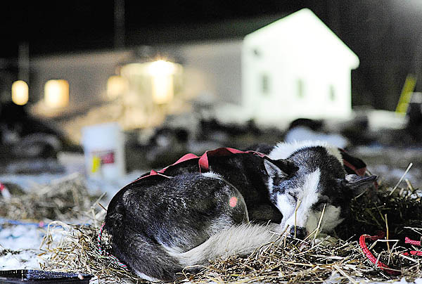&quotWhistle&quot a member of musher Nathan Schroeder's dog team, gets some well-deserved rest after they arrive at the Rocky Brook camp early Sunday morning, March 7, 2010. Schroeder lives in Chisolm, Minnesota. (Bangor Daily News/John Clarke Russ)
