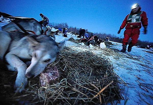 Musher Don Hibbs of Millinocket, Maine checks up on his dog team after feeding them beaver liver and beef liver during their mandatory layover at the Portage Lake checkpoint in Portage Lake, Maine shortly after sundown Saturday, March 6, 2010. &quotIf they don't eat this, they too tired, &quot said Hibbs who uses these snacks as a way to measure their energy level. (Bangor Daily News/John Clarke Russ)