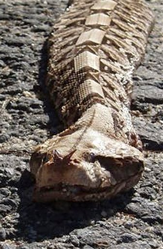 This March 8, 2010 photo released by the Maine Department of Inland Fisheries and Wildlife shows a five-foot-long poisonous Gaboon viper snake found dead behind a movie theater in Saco, Maine. (AP Photo/Maine Department of Inland Fisheries and Wildlife)