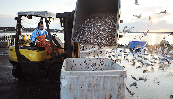 Reinaldo Perez-Chamorro dumps fish heads and other by-products of the canning process into a large bin at the Stinson Sardine Cannery in Prospect Harbor Thursday.  The company sells the by-pruduct to fishermen who use it as bait.  &quotThey buy it from us for about half the price of what they would pay for bait elswhere.  A lot of fishermen are going to be unhappy when we shut down.&quot said James Beal the by-pruduct foreman at the company.