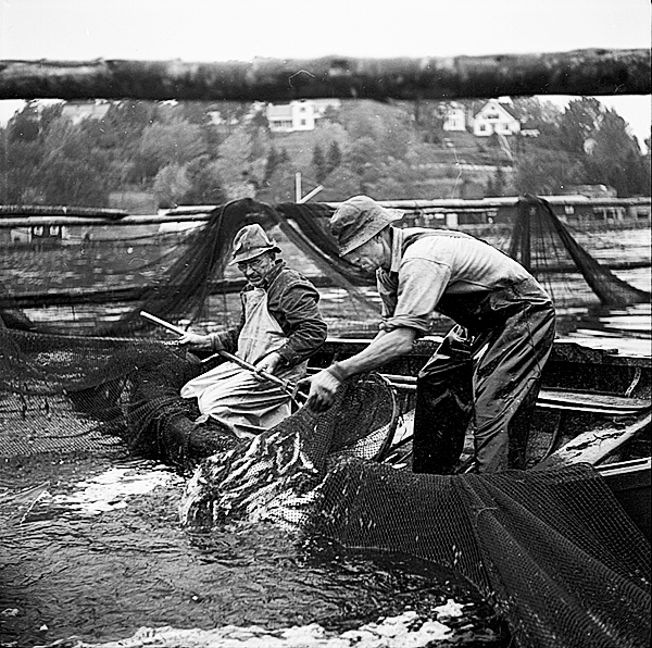 These images of sardine fisherman were taken by Carrol Thayer Berry circa 1950 in Rockport Harbor pulling in the nets from the fish weir. (Photo courtesy of Penobscot Marine Museum)