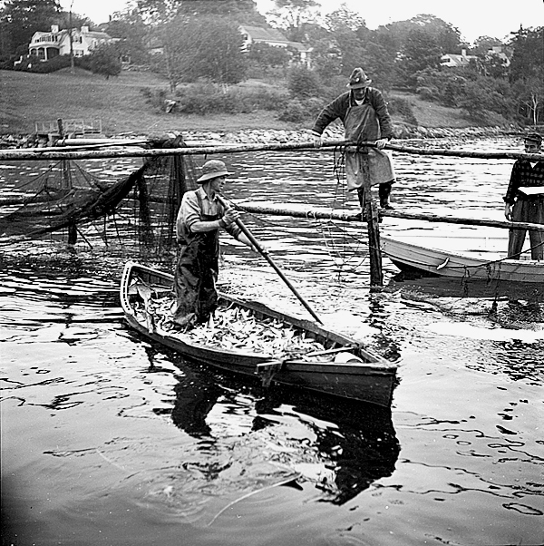 These images of sardine fisherman were taken by Carrol Thayer Berry circa 1950 in Rockport Harbor pulling in the nets from the fish weir. PHOTO COURTESY OF PENOBSCOT MARINE MUSEUM