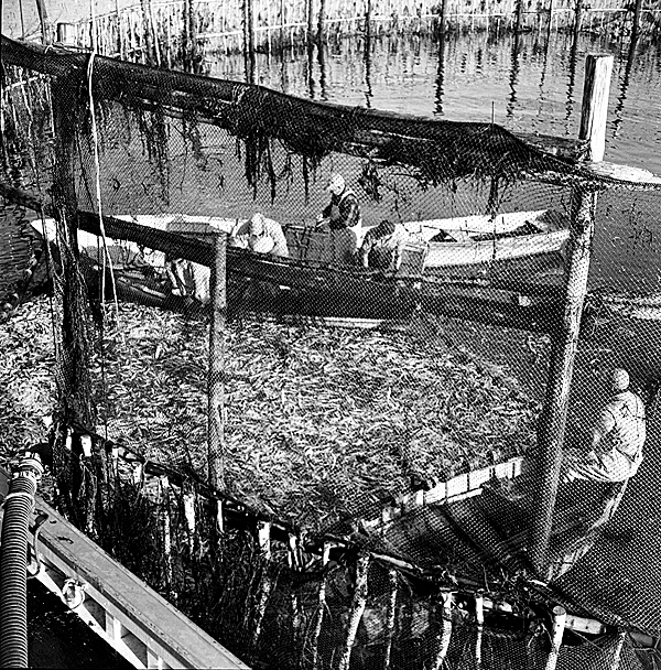 These photos were also taken by famed Maine photographer Kosti Ruohomaa while on assignment for the Maine Sardine Council. The images are circa 1960 and taken in Rockland.  PHOTO COURTESY OF PENOBSCOT MARINE MUSEUM