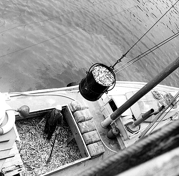 Robert Fitzsimmons of Wilson's Beach, N.B. said that seven hogsheads of fish were caught Thursday three miles away at Deer Island. It took 85 employes of the H. W. Welch Ltd. sardine cannery in Fairhaven, N.B.just over two hours to process the catch. Published BDN, June , 4, 1974  BANGOR DAILYNEWS FILE PHOTO BY CLAYTON BEAL