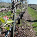 Frost hits Maine's berry and apple crops