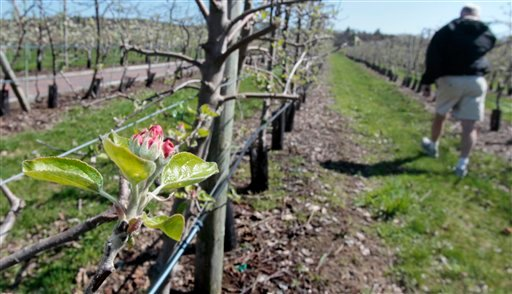In this April 14, 2010 photo, John Burns, general manager at Lookout Farm, walks in shorts through an orchard of Cortland apple trees at the farm in Natick, Mass.  Burns said that due to the warm weather his apple trees are blooming about 24 days early.  Fruit farmers in New England are concerned that a killing frost might affect their trees this season. (AP Photo/Charles Krupa)