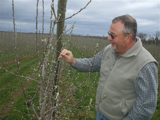 Rod Farrow, Lamont Fruit Farms co-owner, looks at the early growth on the buds of an apple tree at the Lamont Fruit Farm in Waterport, N.Y. New York fruit growers say unusually warm weather has put buds on their trees two to three weeks early. Now they're hoping it stays mild because a hard frost could kill the buds and wipe out crops.  (AP Photo/The Daily News, Tom Rivers)