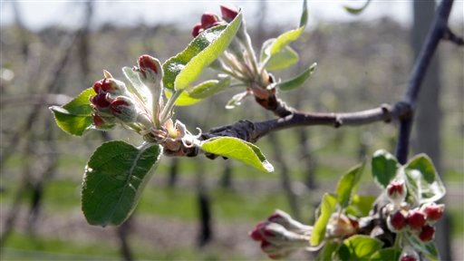 In this April 14, 2010 photo, blossoms are ready top bloom on a Cortland apple branch at Lookout farm in Natick, Mass. John Burns, farm general manager, said that due to the warm weather his apple trees are blooming about 24 days early.  Fruit farmers in New England are concerned that a killing frost might affect their trees this season. (AP Photo/Charles Krupa)