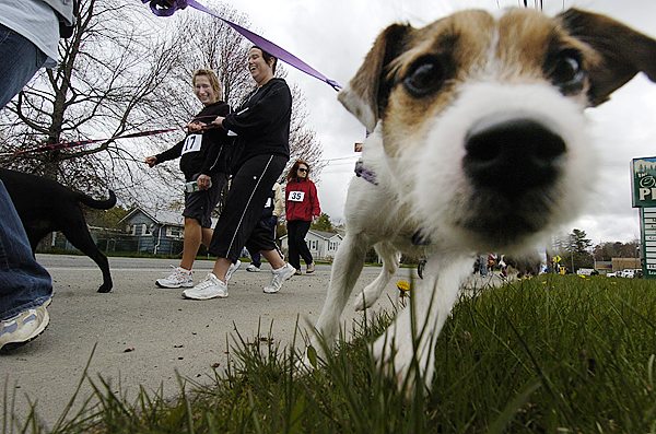 On a leash held by owner Danielle Travers of Carmel, &quotSookie&quot an 11-month-old Jack Russell terrier sniffs the lens of the photographer as they start the 16th Annual Animal Orphanage 5K Run Walk near the Old Town YMCA Sunday morning. Looking on in amusement were Danielle Parks ( wearing race #17) and her friend Jen Spencer of Carmel. According to organizer Robert Fowler, the event had a record 155 human entrants and approximately 25 canine entrants. &quotOur main goal in this and all off our fundraising events is of course to raise money to help homeless strays that come through our doors,&quot said Fowler. The Animal Orphange is a &quotno-kill&quot animal shelter that accepts strays in Old Town and Orono. BANGOR DAILY NEWS PHOTO BY JOHN CLARKE RUSS