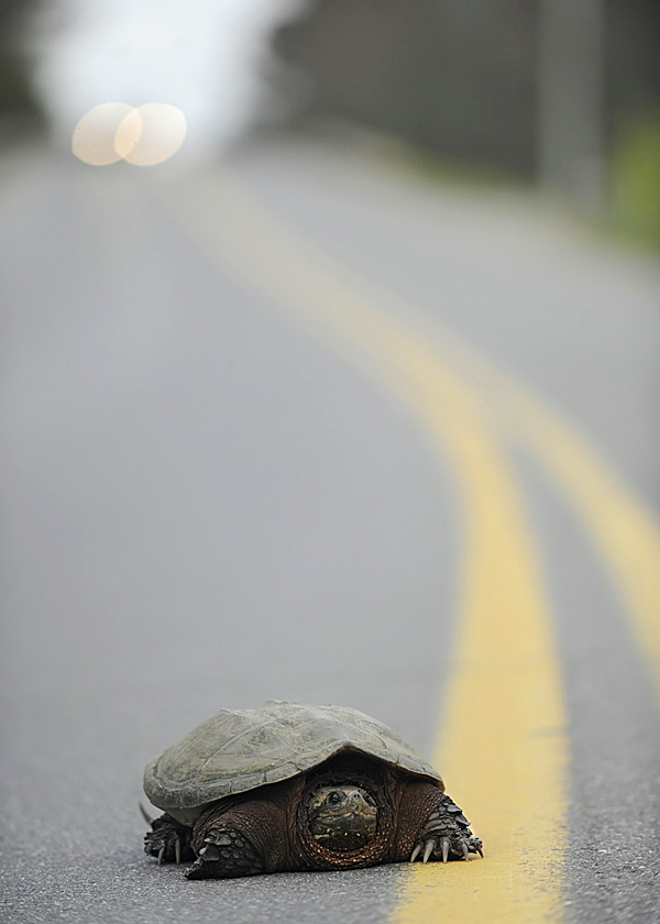 A snapping turtle stood its ground as it slowly made its way across Forest Avenue in Orono shortly before sunset Sunday, May 2, 2010. According to tortoisetrust. org, in Maine's latitude,  snapping turtles typically come out of hibernation in early May when the  water is 41 to 50 F. BANGOR DAILY NEWS PHOTO BY JOHN CLARKE RUSS
