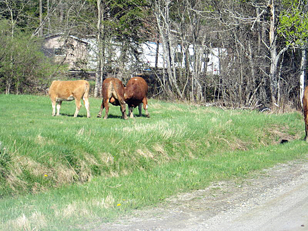 Henderson cows of Orrington. RICKER STORY